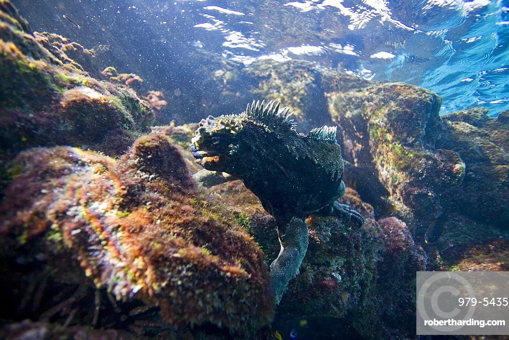 The endemic Galapagos marine iguana (Amblyrhynchus cristatus) feeding underwater in the Galapagos Island Archipeligo, Ecuador