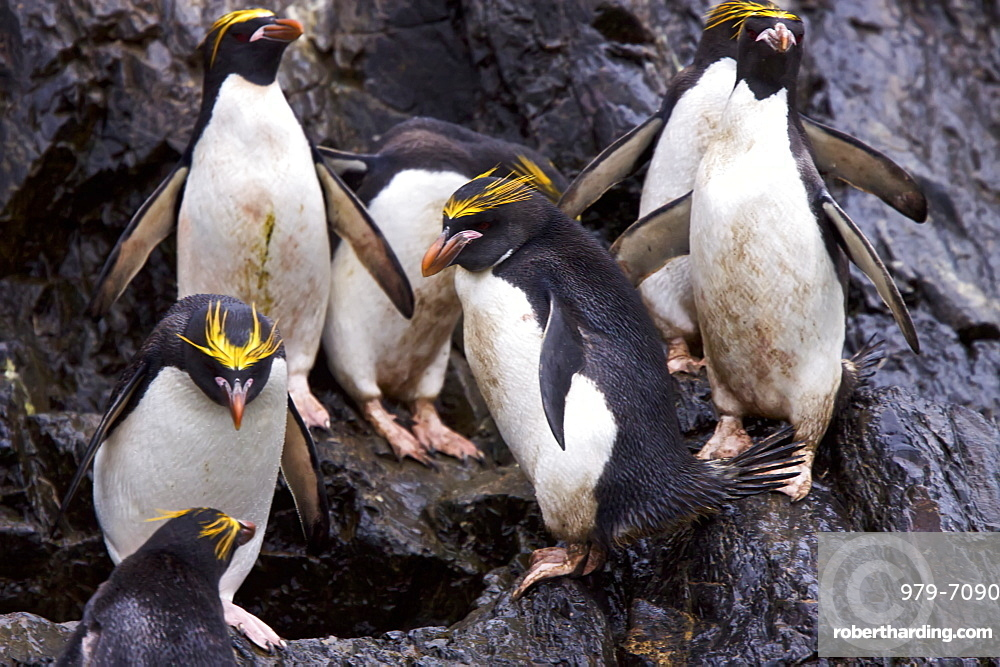 Macaroni Penguins (Eudyptes chrysolophus) in Elsehul Bay on South Georgia Island in the Southern Ocean
