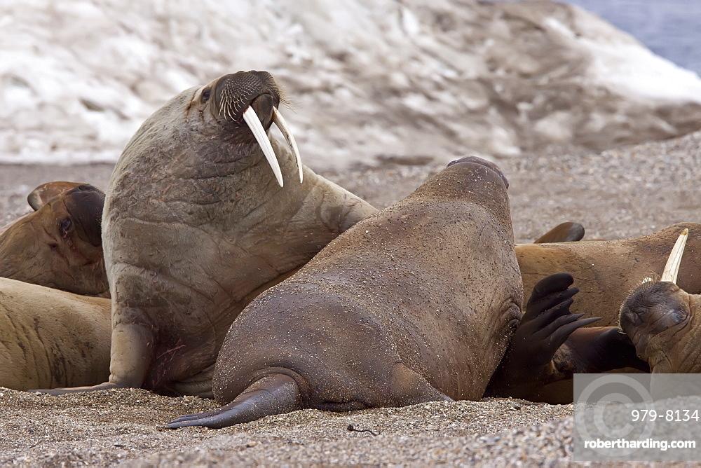 Adult male walrus (Odobenus rosmarus rosmarus) at Torellneset, a point on Nordaustlandet Island, Svalbard Archipelago, Barents Sea, Norway