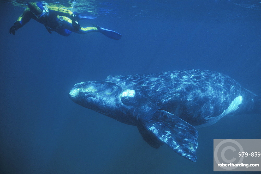Southern Right Whale (Eubalaena australis) calf with snorkeler underwater in Golfo Nuevo, Patagonia, Argentina. Southern Atlantic Ocean.