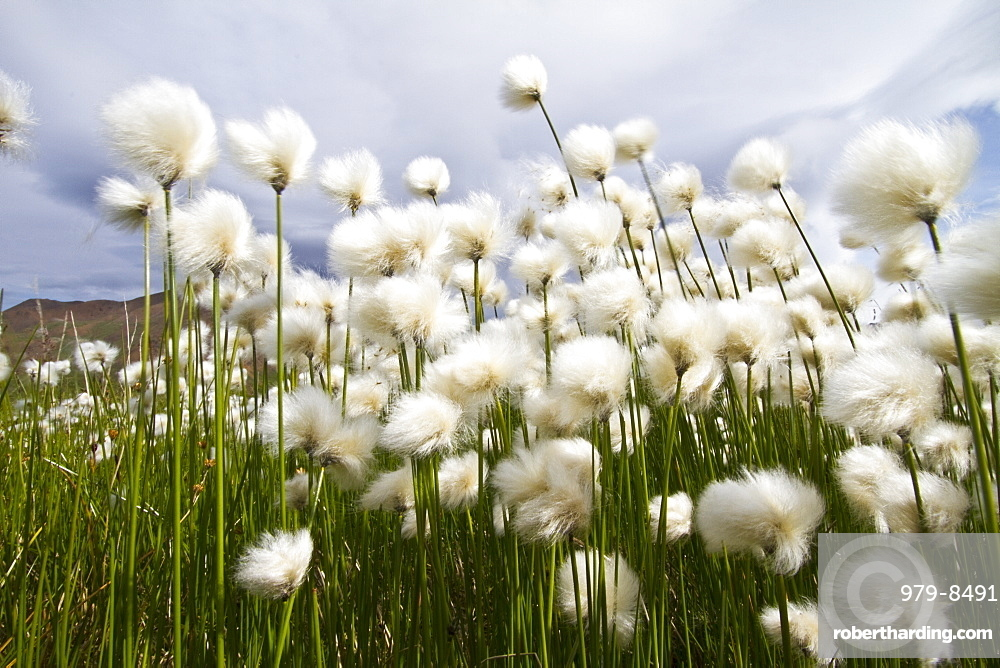 A large stand of Arctic cotton (Eriophorum callitrix) in Denali National Park, Alsaka, USA