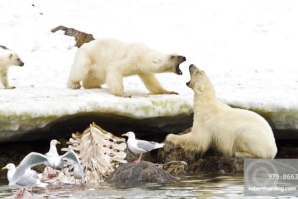 Two young polar bears (Ursus maritimus) in territorial disputel near Monacobreen Glacier, Spitsbergen in the Svalbard Archipelago, Norway