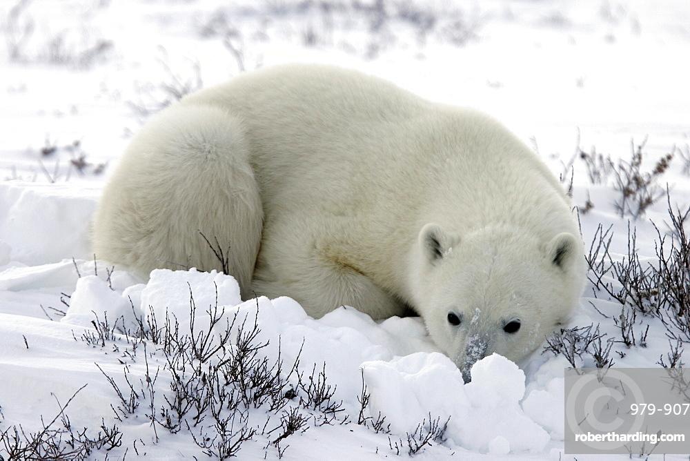 Polar Bear (Ursus maritimus) in day bed near Churchill, Manitoba, Canada.