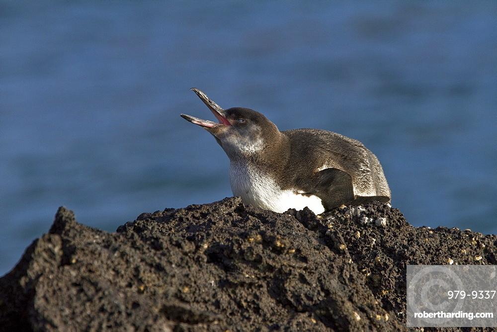 Galapagos penguin (Spheniscus mendiculus) hauled out on Isabela Island in the Galapagos Island Archipelago, Ecuador