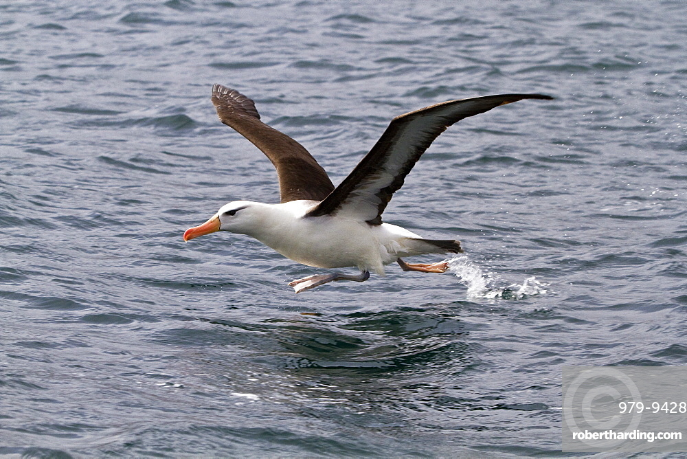 Adult black-browed albatross (Thalassarche melanophrys) in Elsehul on South Georgia, Southern Ocean