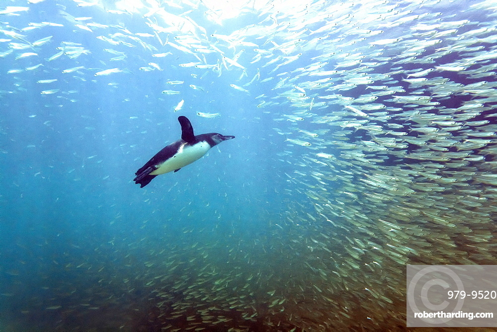 Galapagos penguin (Spheniscus mendiculus) feeding underwater on small baitfish in the Galapagos Island Archipelago, Ecuador