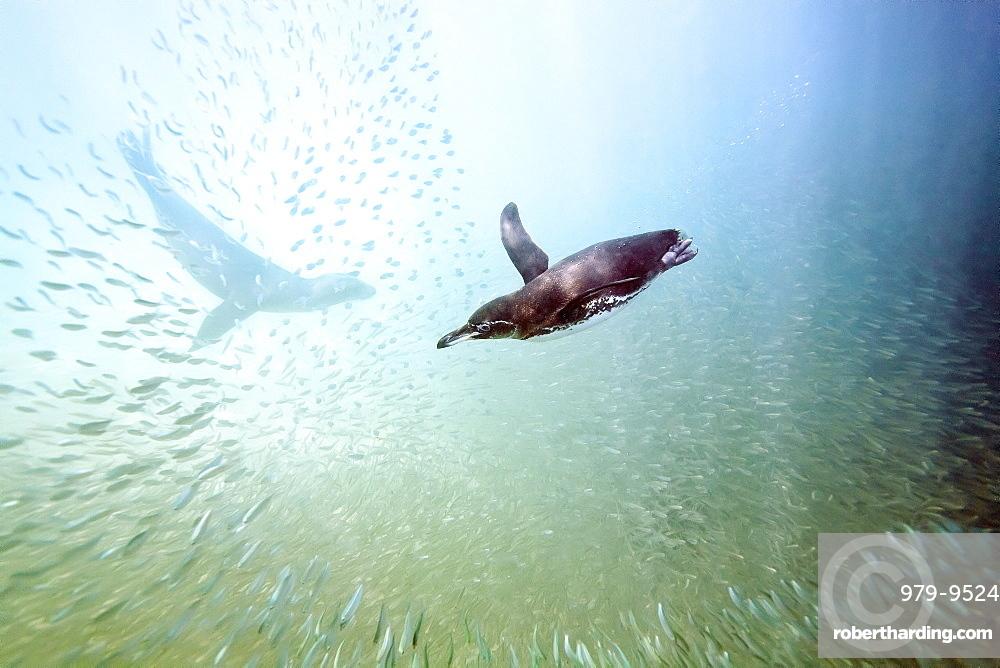 Galapagos Penguin Spheniscus Mendiculus Feeding Stock Photo