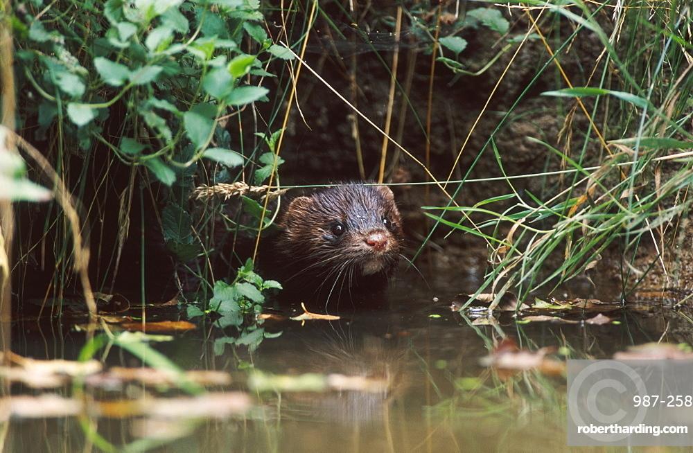 american mink, mustela vison, male in pond, bohemia