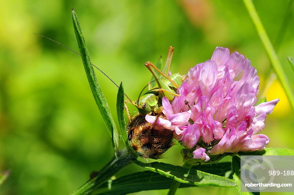 Immature female great green bush cricket (Tettigonia viridissima) and clover flower, Hecho valley, Spanish Pyrenees, Spain, Europe