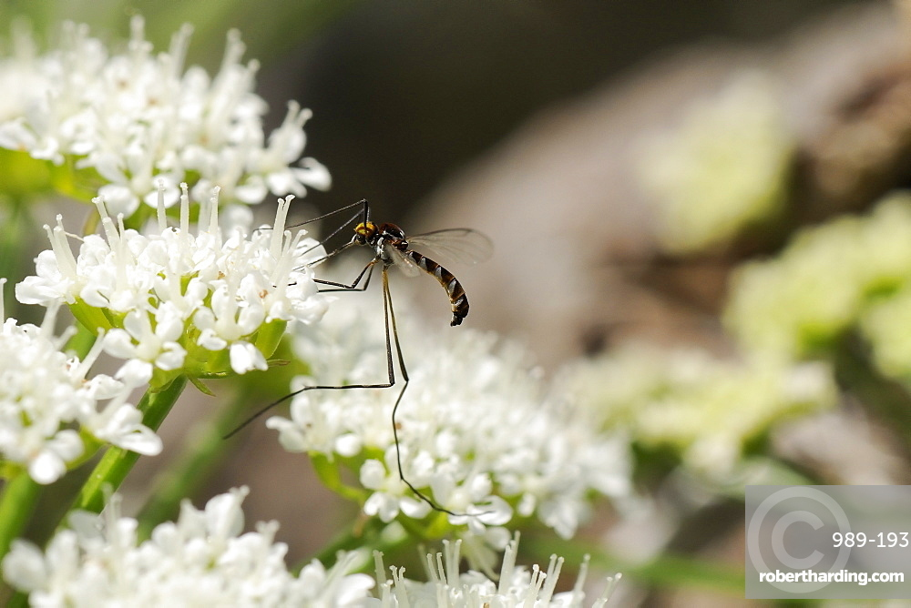 A rare net-winged midge (Apistomyia elegans) feeding on umbel flowers by an unpolluted mountain stream, Corsica, France, Europe