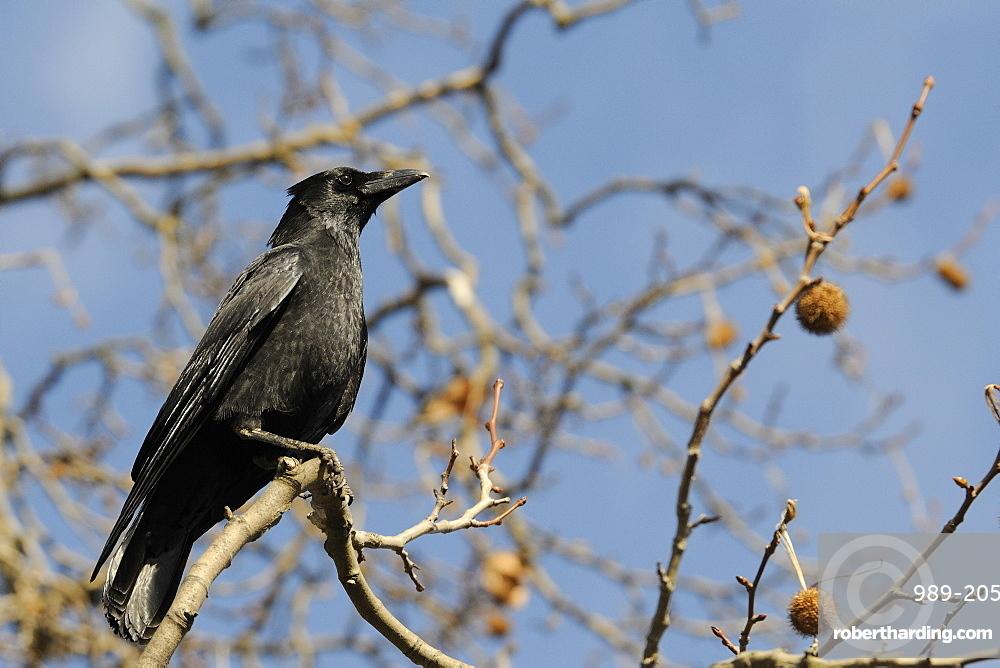 Carrion crow (Corvus corone) perched on branch of London plane tree (Platanus x hispanica), Regents Park, London, England, United Kingdom, Europe