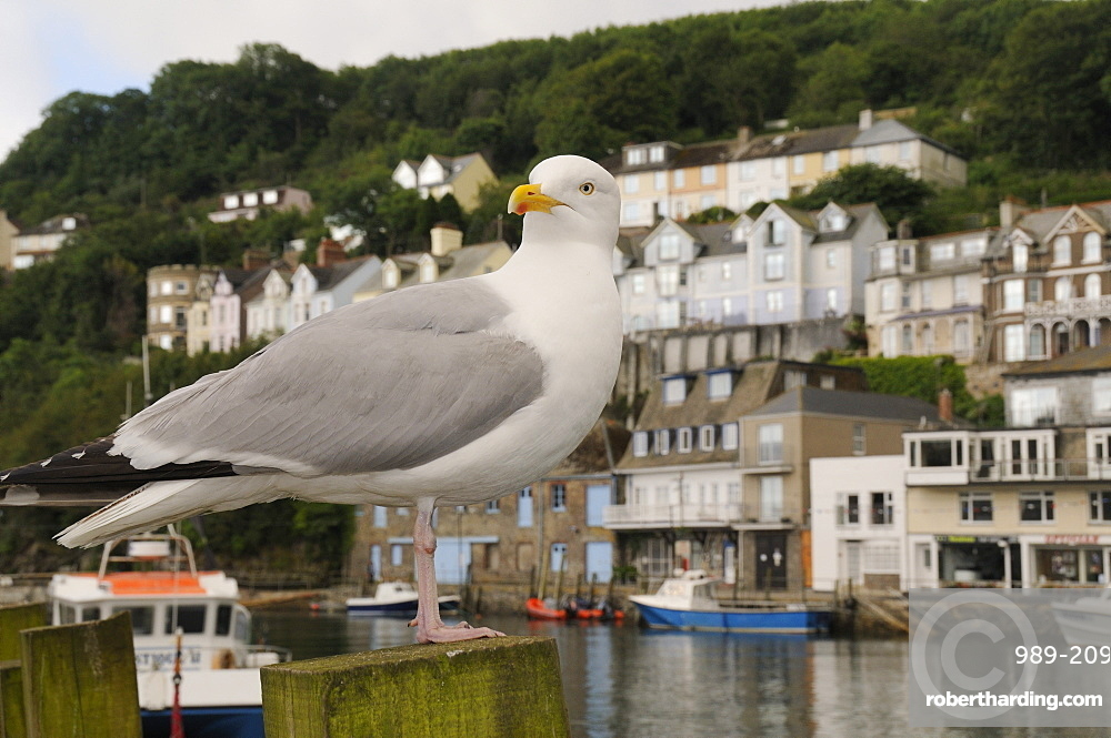 Adult herring gull (Larus argentatus) standing on wooden post by Looe harbour with houses in the background, Looe, Cornwall, England, United Kingdom, Europe