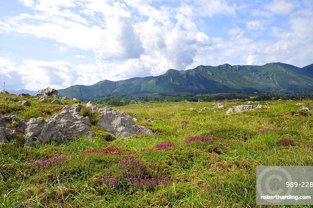 Mediterranean heather (Erica multiflora) flowering with Picos de Europa mountains in the background, Ribadesella, Asturias, Spain, Europe