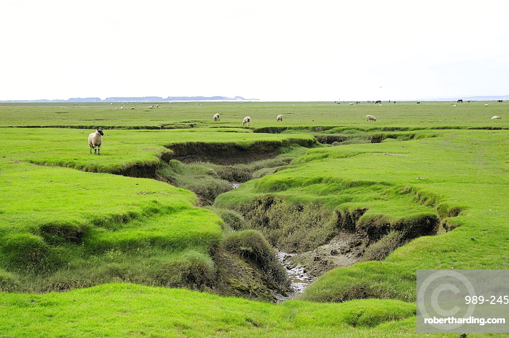 Sheep (Ovis aries) grazing Llanrhidian salt marshes by tidal creeks, The Gower Peninsula, Wales, United Kingdom, Europe