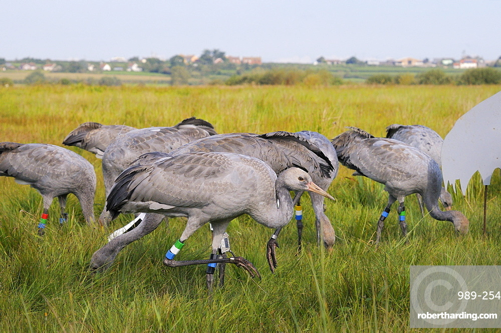 Reintroduced young common cranes (Eurasian cranes) (Grus grus) foraging for grain near an adult crane model, Somerset Levels, Somerset, England, United Kingdom, Europe