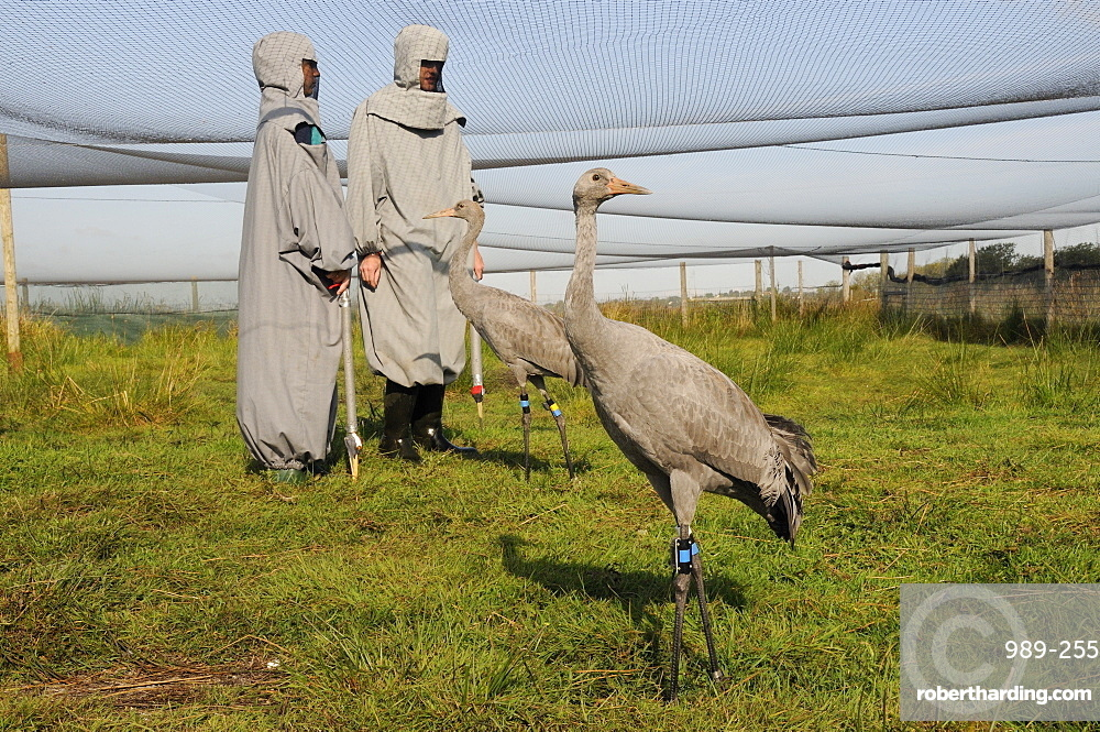 Two young common cranes (Eurasian cranes) (Grus grus) standing within an aviary on the Somerset Levels near two surrogate parents, Somerset, England, United Kingdom, Europe