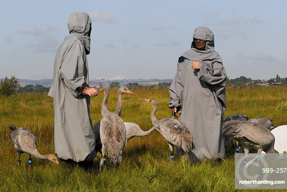 Reintroduced young common cranes (Eurasian cranes) (Grus grus) pecking at a surrogate parent and one another on the Somerset Levels, Somerset, England, United Kingdom, Europe