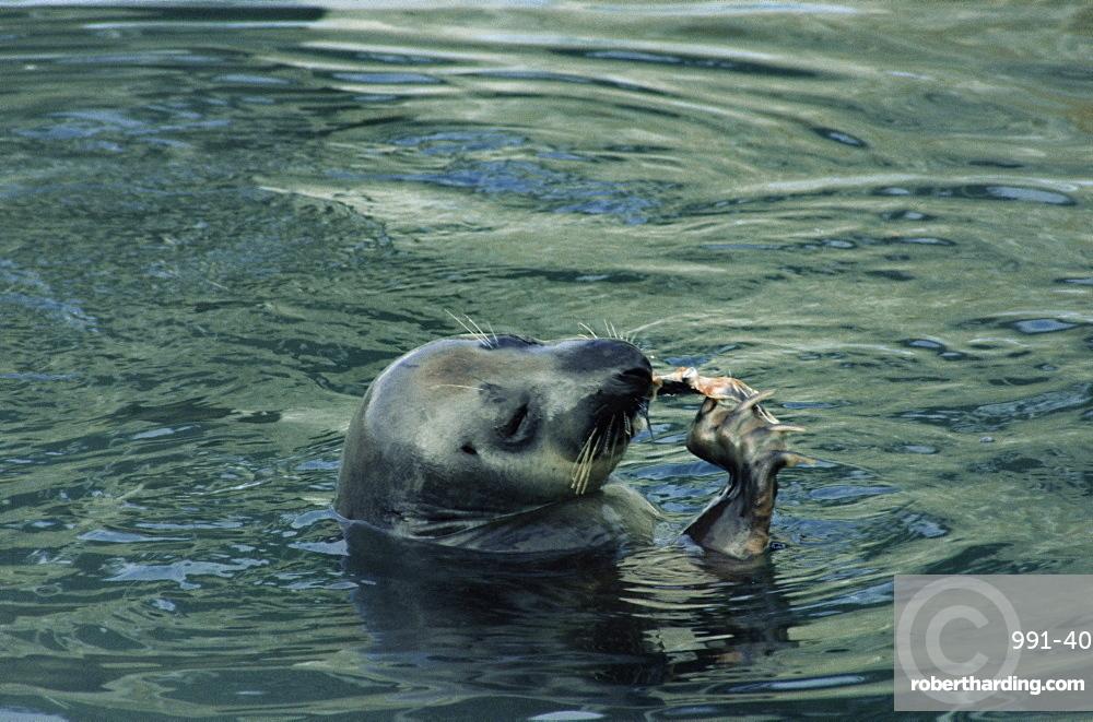 Female Atlantic grey seal (Halichoerus grypus) using its claws to eat a fish. Scotland, UK.