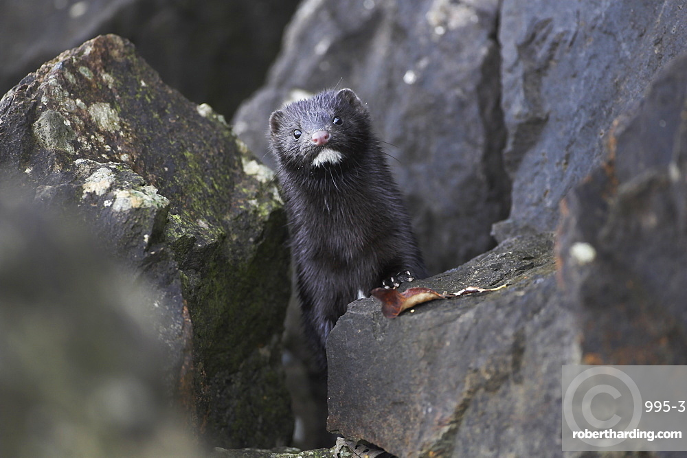 American Mink (Mustela vison) peering over rock with wet fur, paw on rock. American Mink is a formidable predator in water environments, unfortunately it is in the wrong country. This one was hunting amongst rocks on the banks of Loch Awe.  Argyll, Scotland