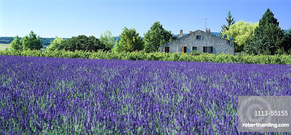 Lavender field and country house in the sunlight, Alpes de Haute Provence, Provence, France, Europe