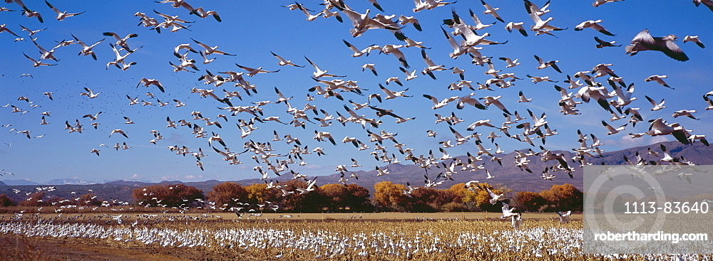 Snow geese at their winter quarters in Bosque del Apache, New Mexico, USA