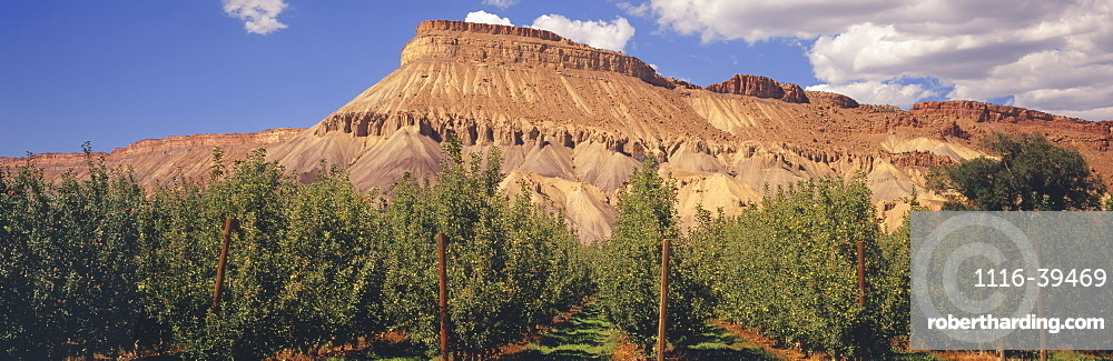 Trellised ripening Gala apple tree orchard in late summer, classic Colorado red mesa and partly cloudy skies in the background, Grand Junction, Colorado, United States of America
