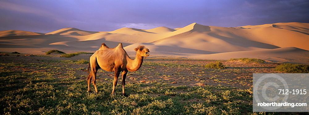 Camel at the Khongryn dunes, Gobi desert, Gobi National Park, Omnogov Province, Mongolia, Central Asia, Asia
