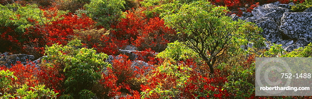 Trees in the forest, Dolly Sods Wilderness, Monongahela National Forest, West Virginia, USA