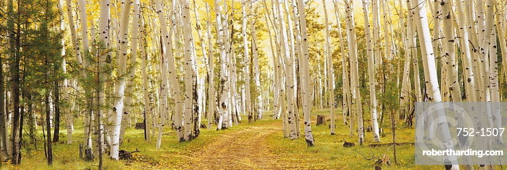 Aspen trees in a forest, Dixie National Forest, Utah, USA