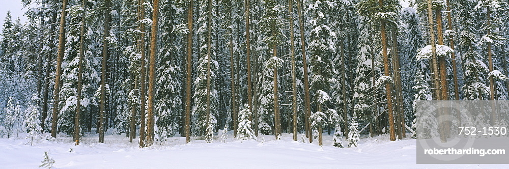 Aspen trees in a forest, Banff National Park, Alberta, Canada