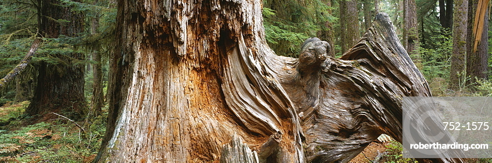 Close-up of a tree trunk in the forest, Hoh Rainforest, Olympic National Park, Olympic Peninsula, Washington State, USA