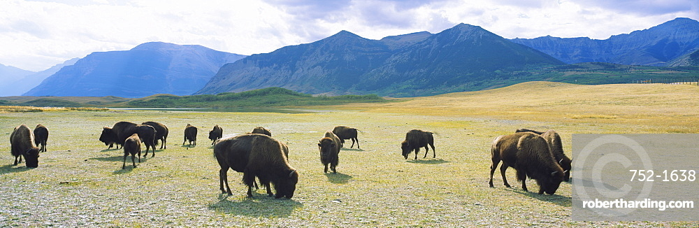 Herd of bisons grazing in a field, Waterton Lakes National Park, Alberta, Canada