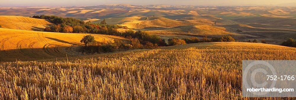 Wheat field on a landscape, Palouse Region, Whitman County, Washington State, USA