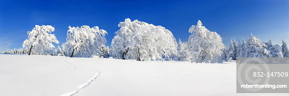 Snow covered beech trees, Schauinsland, Black Forest, Baden-Wuerttemberg, Germany, Europe