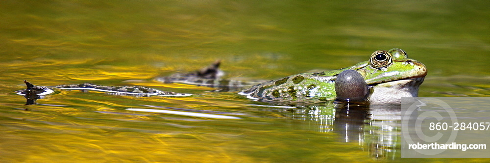 Male Lowland frog swimming in a pond, France