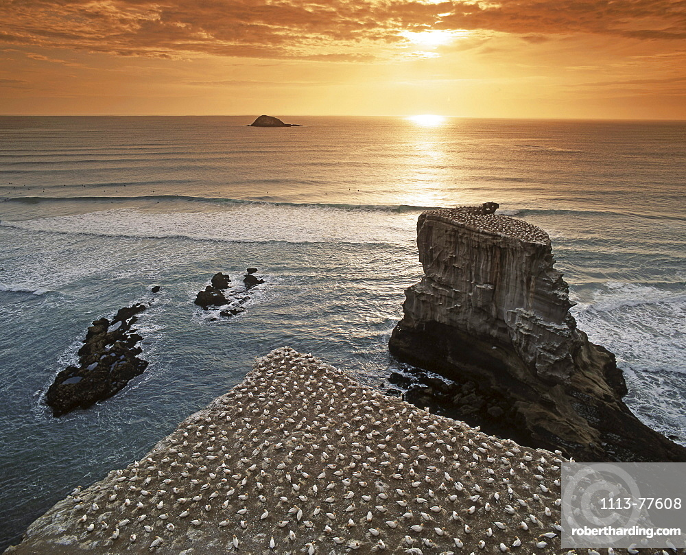 New Zealand, gannet colony at muriwai beach, gannet fly from Muriwai to australia and come back