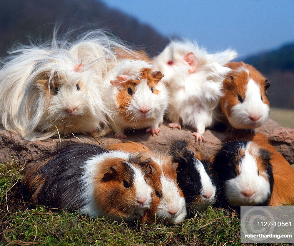 Several breeds of Guinea Pigs