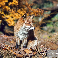 Red Fox / (Vulpes vulpes)