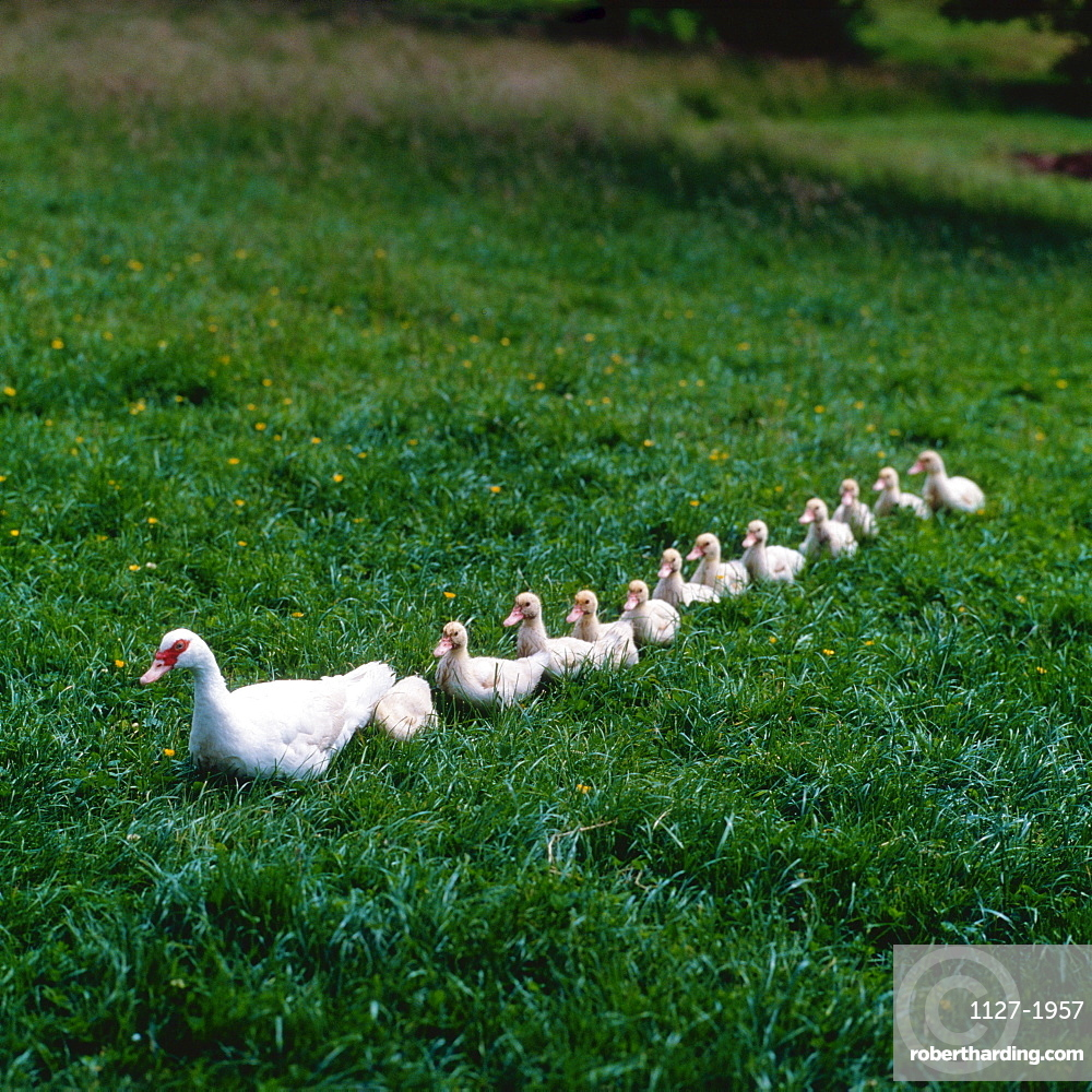 Domestic Moscovy Ducks, female with ducklings