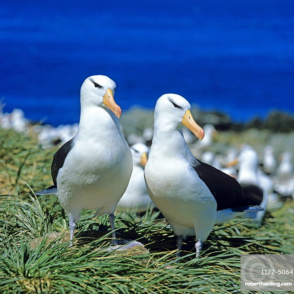 Black-browed Albatrosses, pair / (Diomedea melanophris, Thalassarche melonophris) / Black-browed Mollymauk