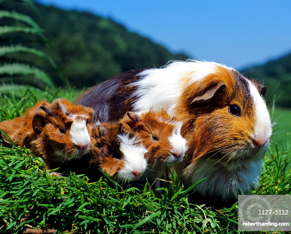 Guinea Pig with youngs