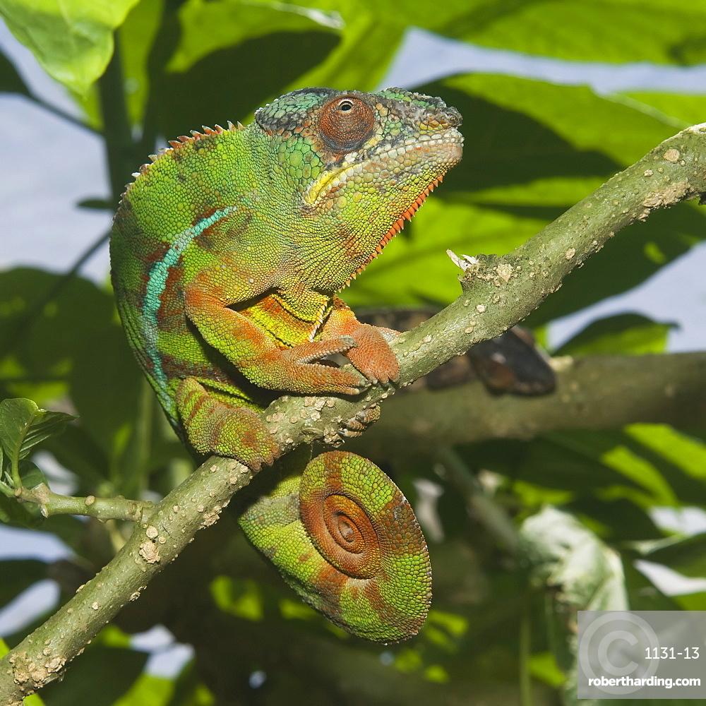 Panther chameleon (Furcifer pardalis), Madagascar, Africa