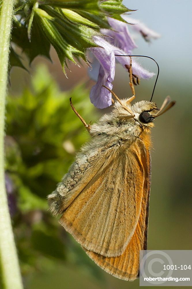 Skipper (Hesperiidae), North West Bulgaria, EuropeSub order Rhopalocera;Family Hesperiidae
