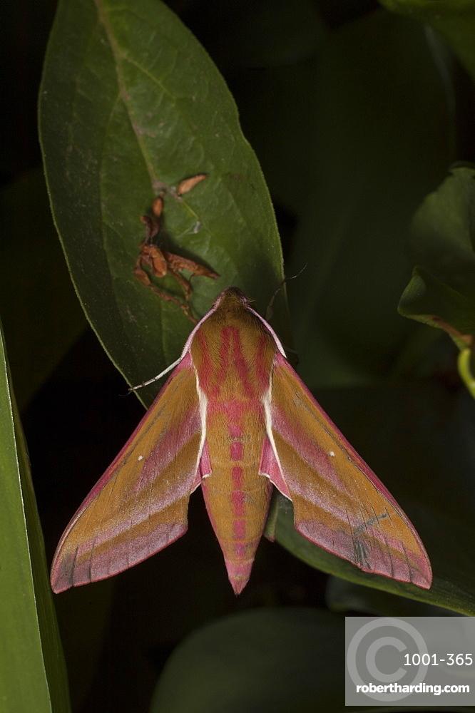 Elephant hawk-moth (Deilephila elpenor), North West Bulgaria, EuropeFamily Sphingidae;Sub family Macroglossinae;Tribe Macroglossini;Sub tribe Choerocampina