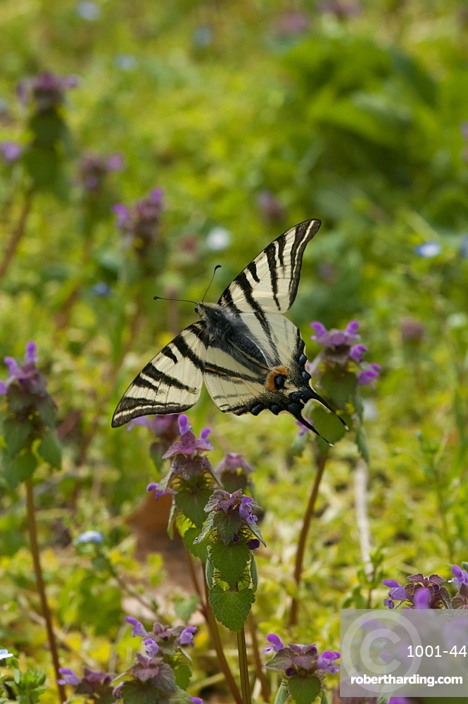 Scarce swallowtail (Iphiclides podalirius) (Papilionidae), Bulgaria, Europe