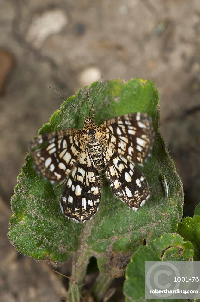 Latticed heath (Chiasmia clathrata), Bulgaria, Europe