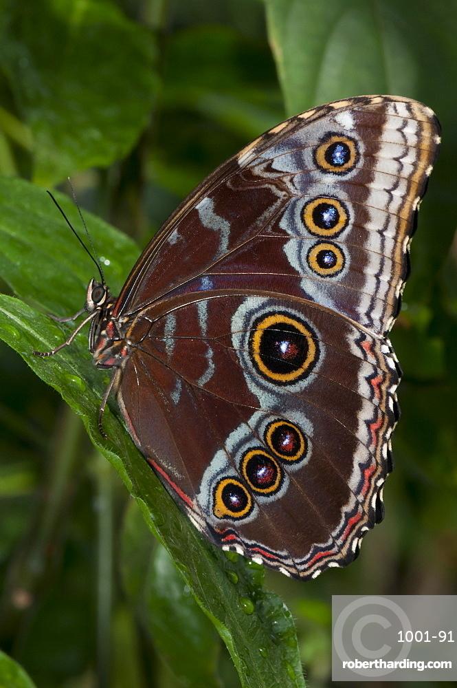 Peleides blue morpho (common morpho) (Morpho peleides), Grevenmacher Butterfly Garden, Luxembourg, Europe