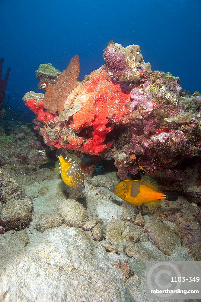 Two white spotted filefish, one in the orange phase, one in the white spotted phase, Dominica, West Indies, Caribbean, Central America