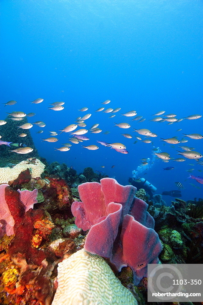 Reef scene with sponges, Dominica, West Indies, Caribbean, Central America