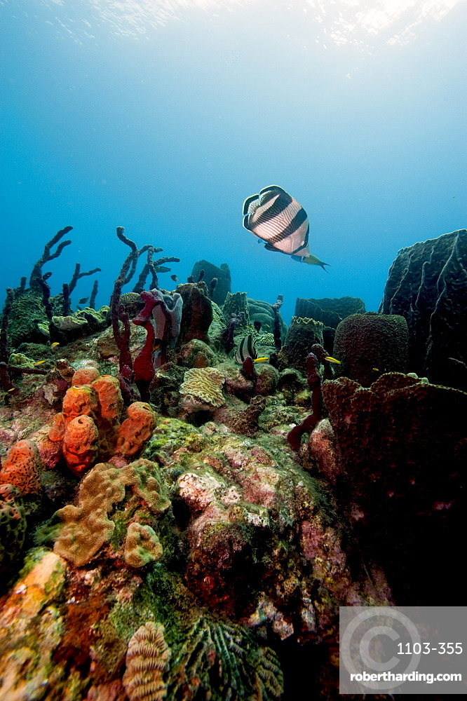 Reef scene with banded butterflyfish (Chaetodon striatus), Dominica, West Indies, Caribbean, Central America